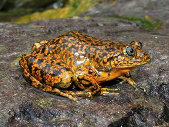 BMAP describe una nueva especie de rana acuática andina