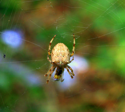 Spider in The Hedge