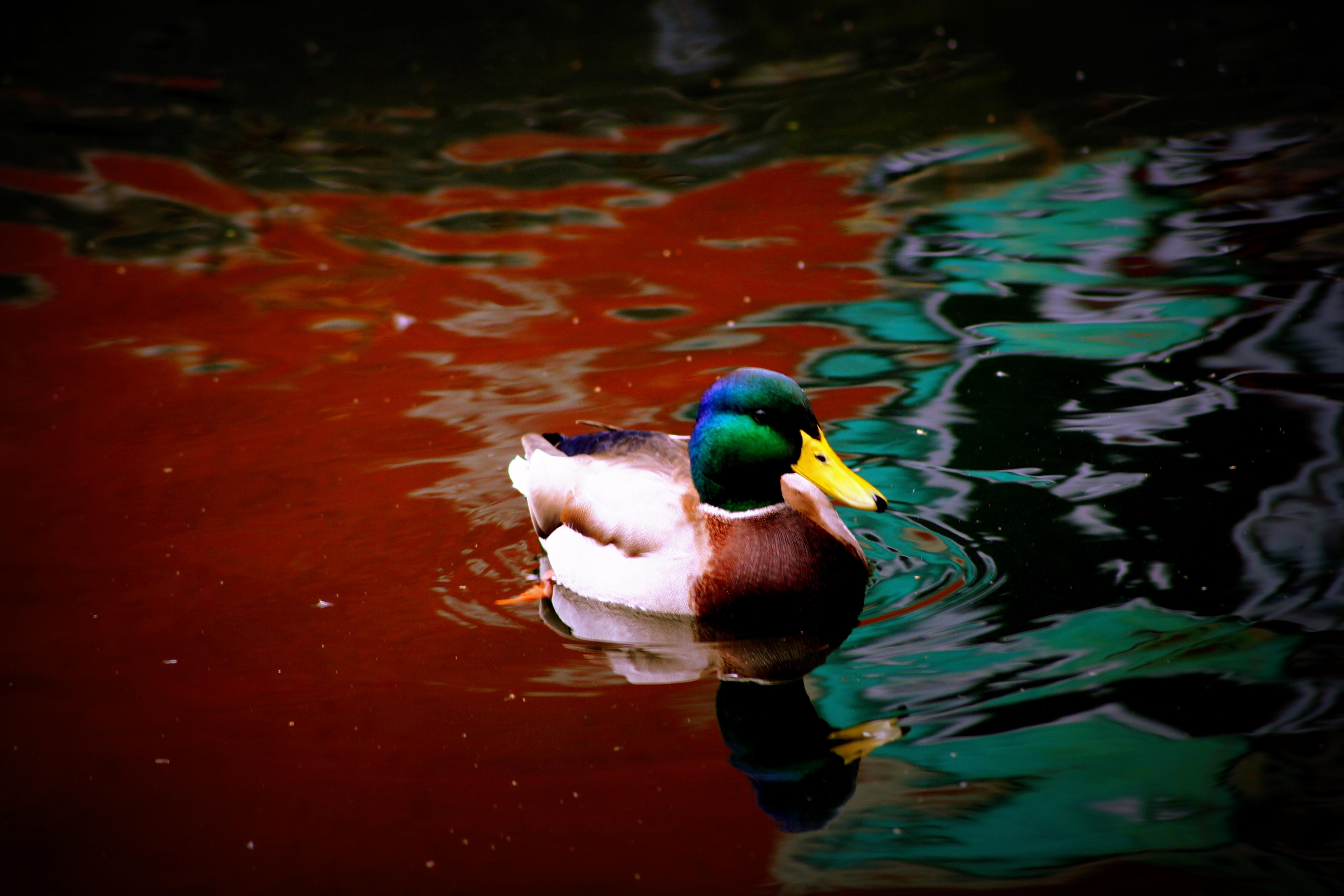 Mallard on the Canal