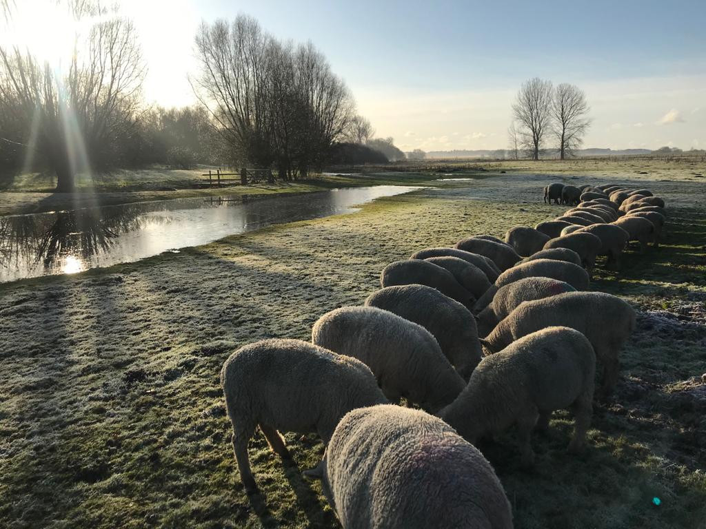 Our southdown sheep grazing