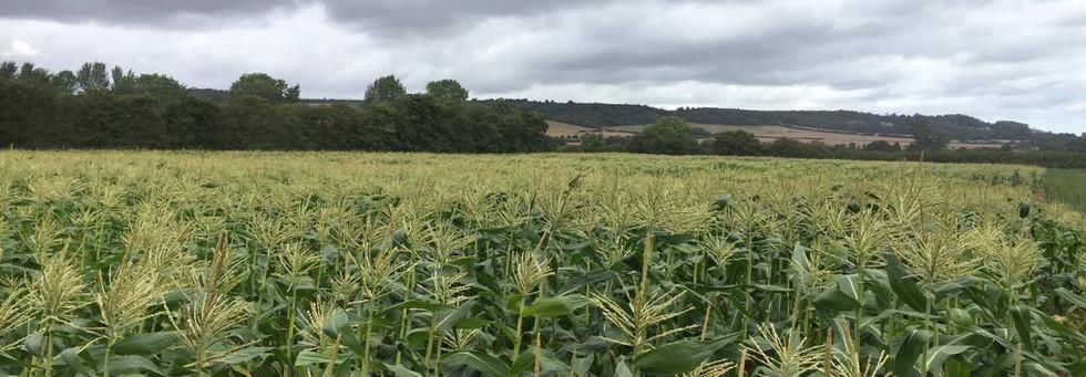 The corn crop