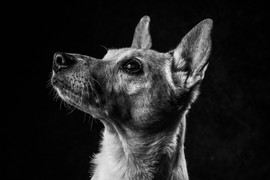 Pet Portraits 6 | Wheatman Photography |