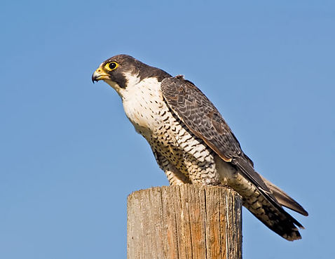 Peregrine Falcons of Pine Canyon