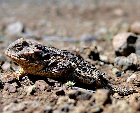 Blainville's Horned Lizard
