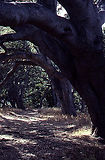 California's Iconic Oaks and Their Many Relations