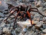 Common Spiders of Mount Diablo