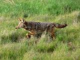Coyote Behavior in the Urban Interface