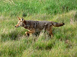 Coyote Behavior in the Urban Interface