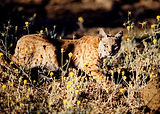 Wild Cats of Mount Diablo