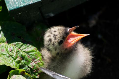 Arctic Terns 1