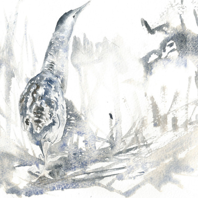 Bittern, reed beds