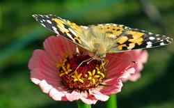 butterfly-5585230_960_720