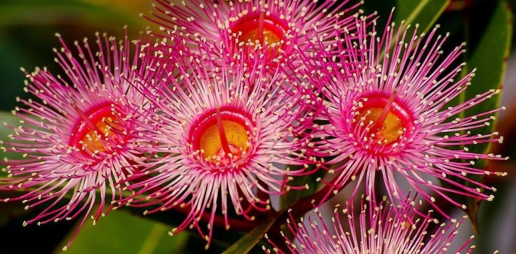 eucalyptus-flowers-2348353_1280_edited