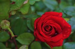 rose-4226663_960_720