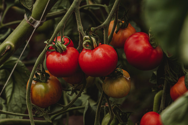 heirloom cherry tomato.jpg