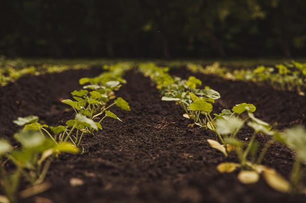 Organic Vegetable Fields
