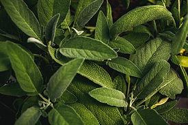 organic herb translants for home gardening