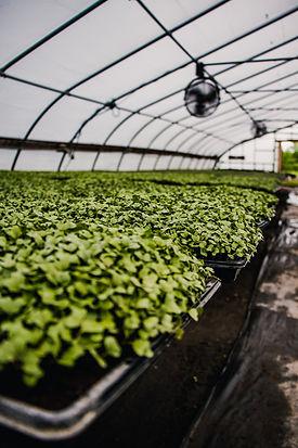 Organic Microgreens grown in our greenhouses at Heritage Prairie Farm in Elburn, Illinois