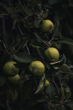 AppleTrees-7.jpg