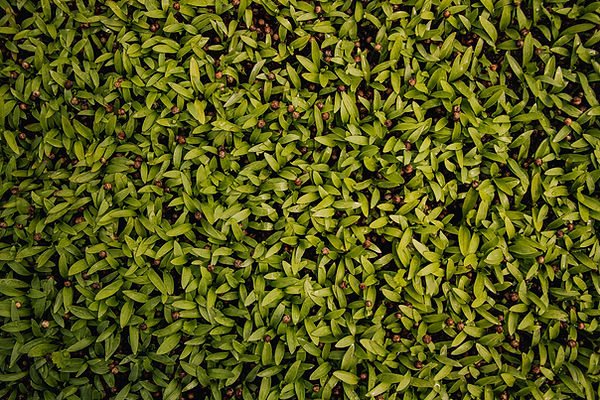 Organic Microgreens for Restaurants & Grocers