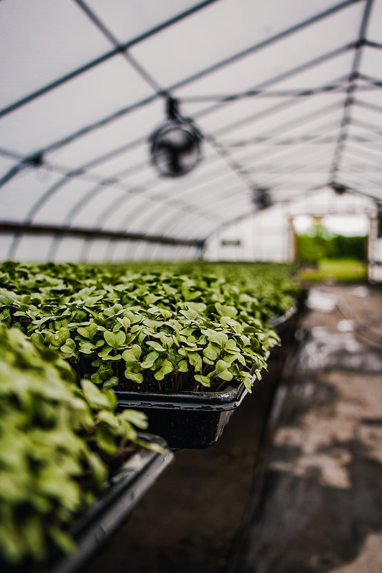 Organic Microgreens for Restaurants & Grocers grown in our greenhouses