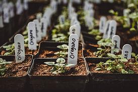 organic herb transplants for home gardeners