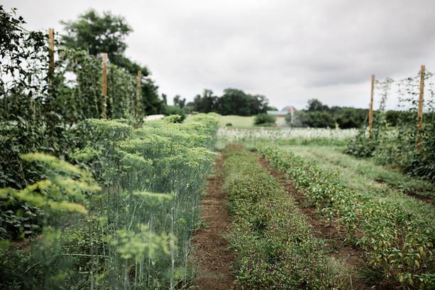 Organic Vegetables & Herbs