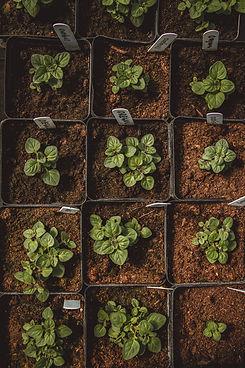 organic herb and vegetable transplants