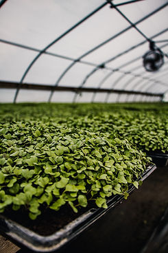 microgreens and CSA Share near St. Charles, Illinois