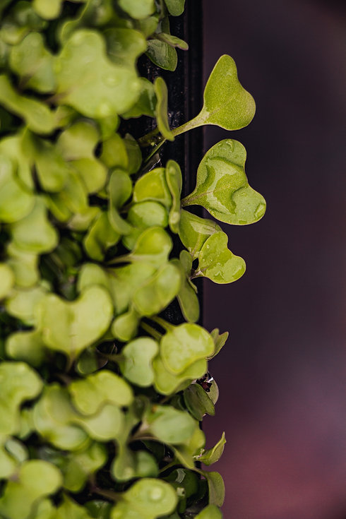 organic microgreens for restaurants