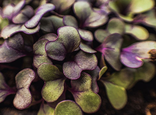 microgreens, produce delivery, organic produce, organic vegetables, csa, community supported agriculture, farm store, local farm, organic farm, usda certified organic