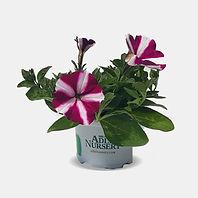 Petunia-varod-lavan.jpg
