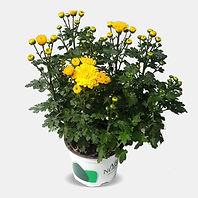 Yellow-Chrysanthemum.jpg