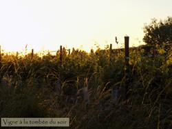 Vigne_Tombée_Soir