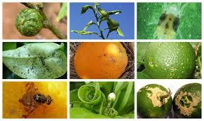Guía básica de plagas y enfermedades de los cítricos