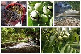 Elementos básicos para la exitosa cosecha de nueces
