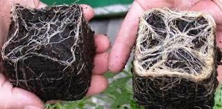 Las Micorrizas: biofertilizadores naturales del suelo