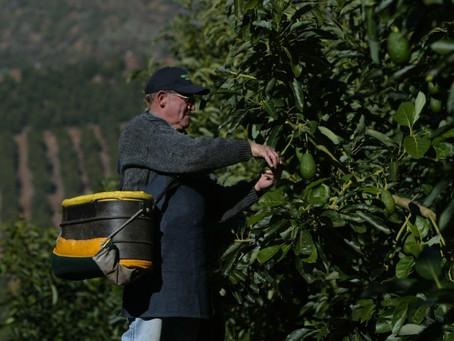 Las nuevas zonas de plantación para los huertos de paltos