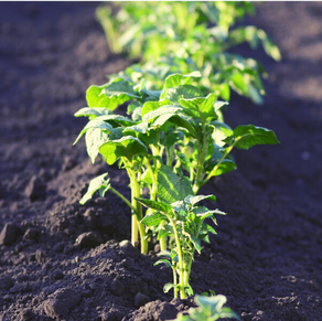 Decision support for managing Potato Late Blight