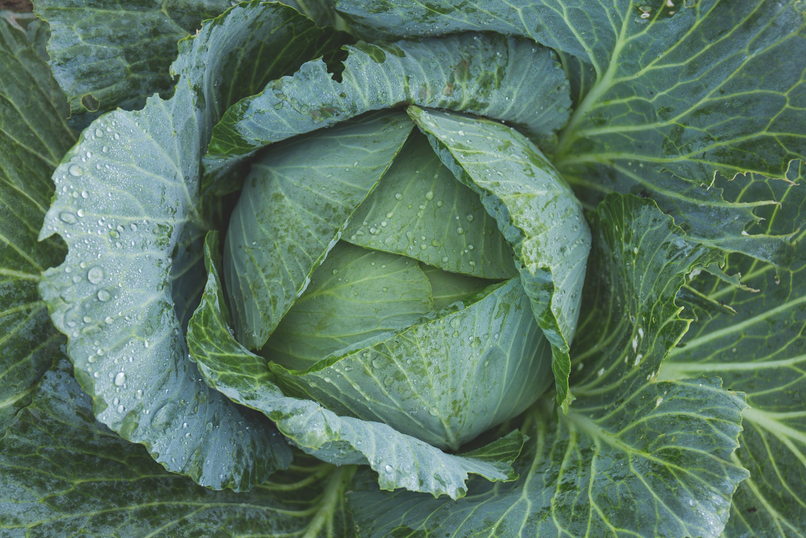 cabbage close up.png