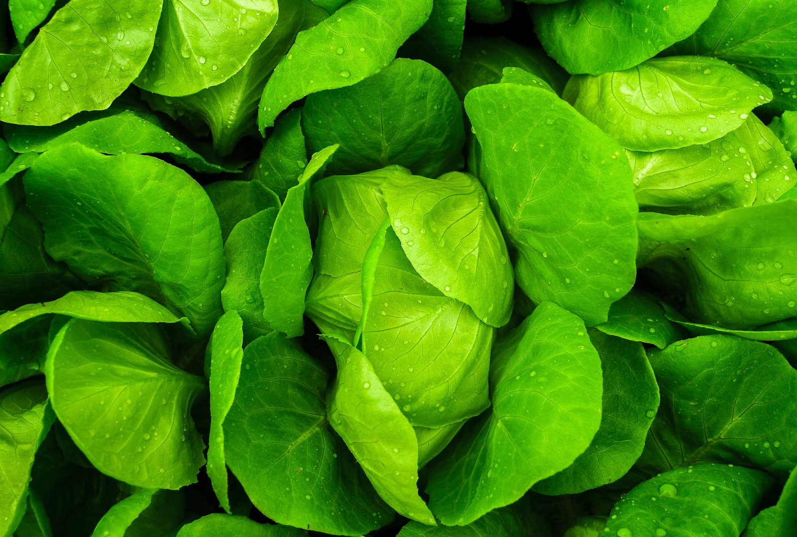 lettuce close up .png