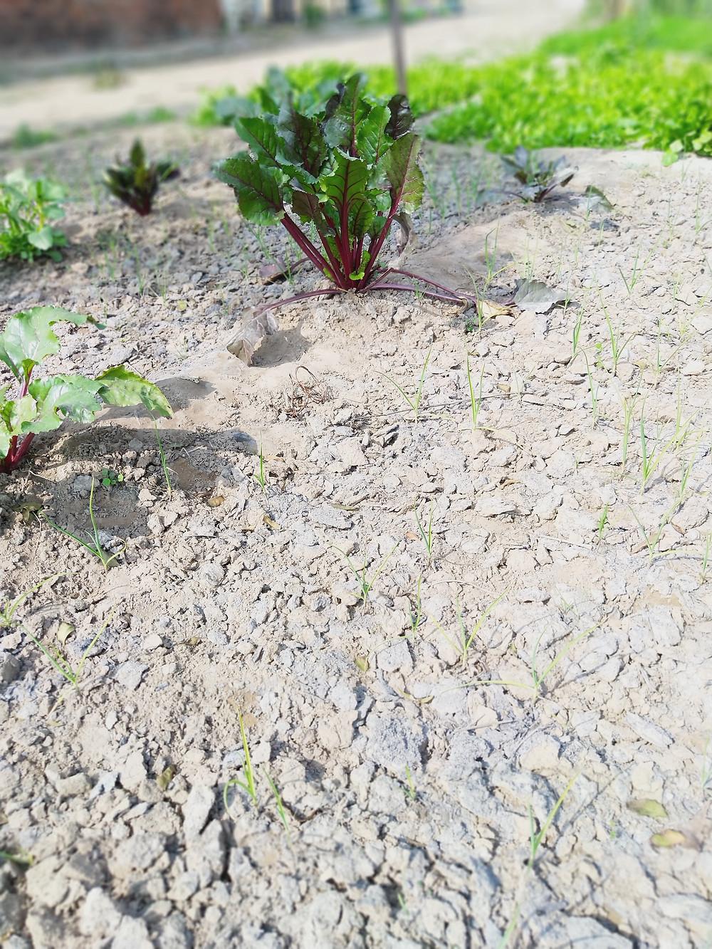 crop rows sprinkled with wood ash