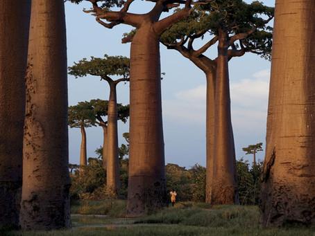 Origin and Benefits of Kaukah wood (Attalea Funifera)