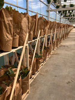 Packaged Tropicals