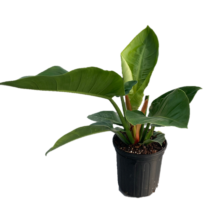 """10"""" Philodendron Imperial Green"""