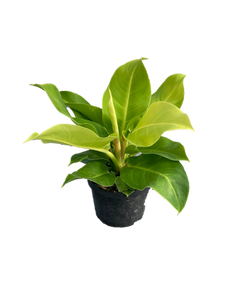6_ Philodendron