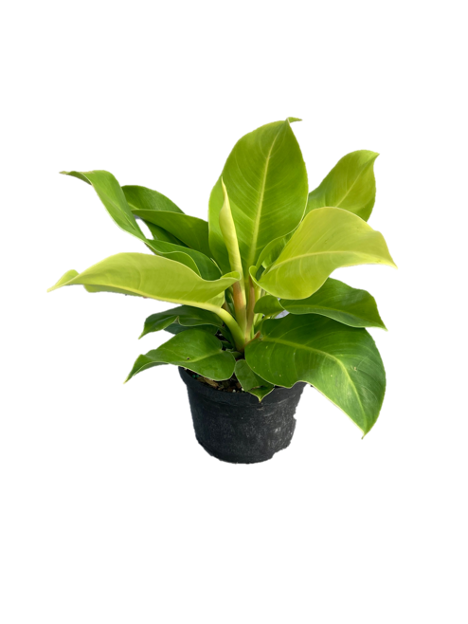 """6"""" Philodendron"""