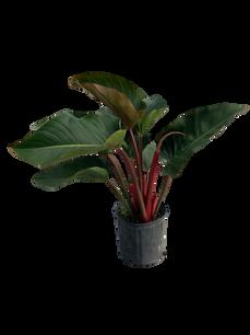 "8"" Philodendron Congo Rojo"