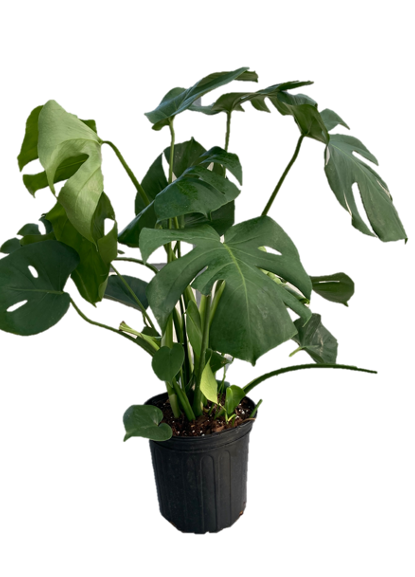 "10"" Monstera Tropical indoor plant"