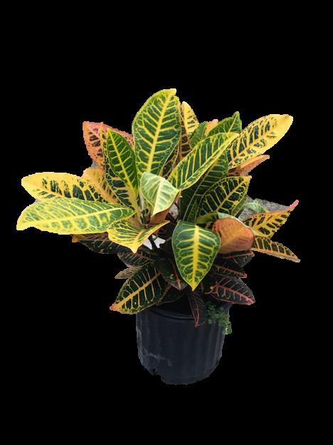"""8"""" Croton Petra"""